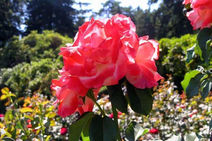Ciudad de las rosas Foto: Christopher Wood