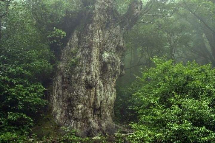 Jomon Sugi en isla de Yakushima Foto Japan Endless Discovey