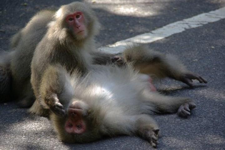 Monos en Yakushima  Foto Japan Endless Discovey