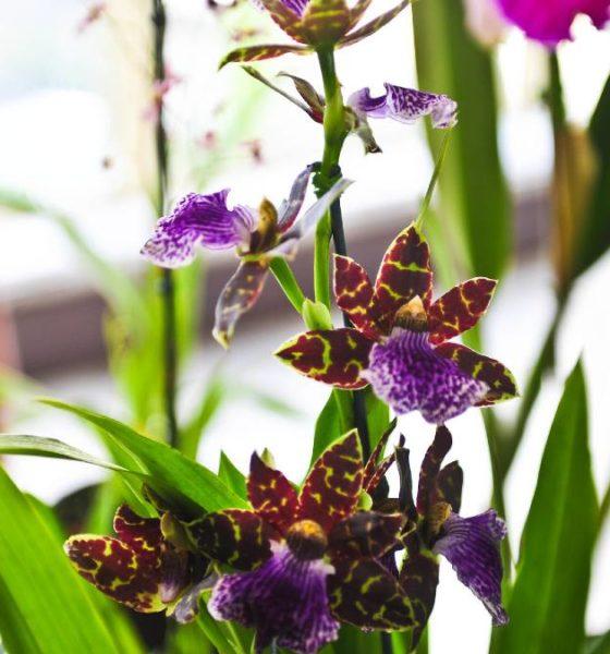 Orquídea. Foto. Pedro de Oliviera