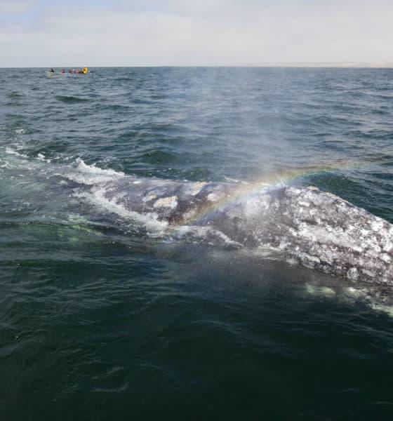 Portada. Santuario de la ballena gris en Comondú. Imagen: SEMARNAT 1