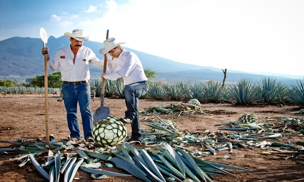 Procesó del tequila Foto Archivó