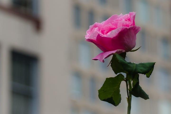 Rosa Foto: Omygodtom