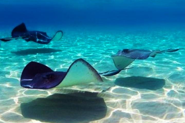 mantarrayas. Foto. Oceanos. vivientes (1)