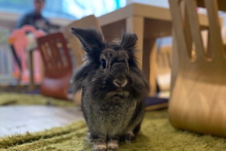 Lugares pet friendly del mundo. Conejos sueltos en el café. Foto: Rabbitland Cafe Facebook