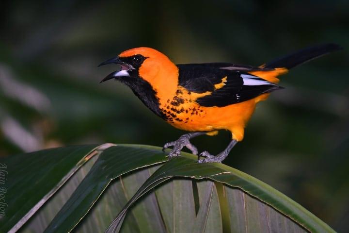 Fauna en Liberia, Guanacaste en Puerto Rico Foto Alain Rochon