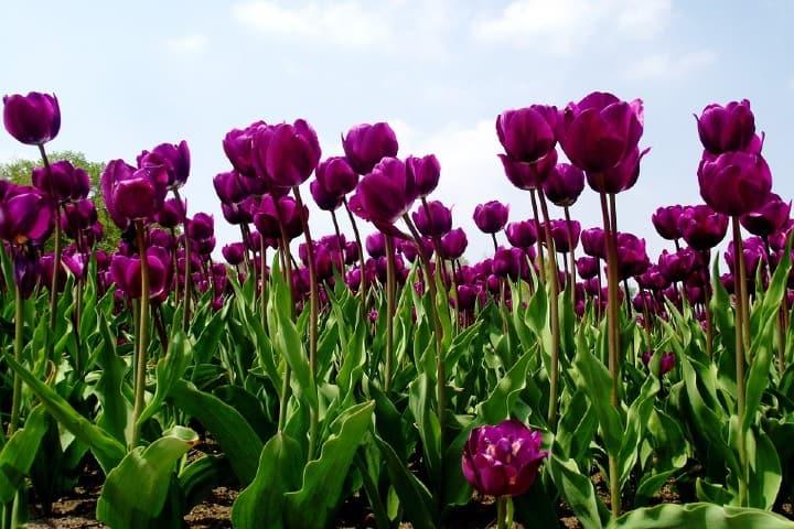 Los campos de tulipanes en Atlixco es uno de los campos de flores más instagrameables de México Foto MXcity