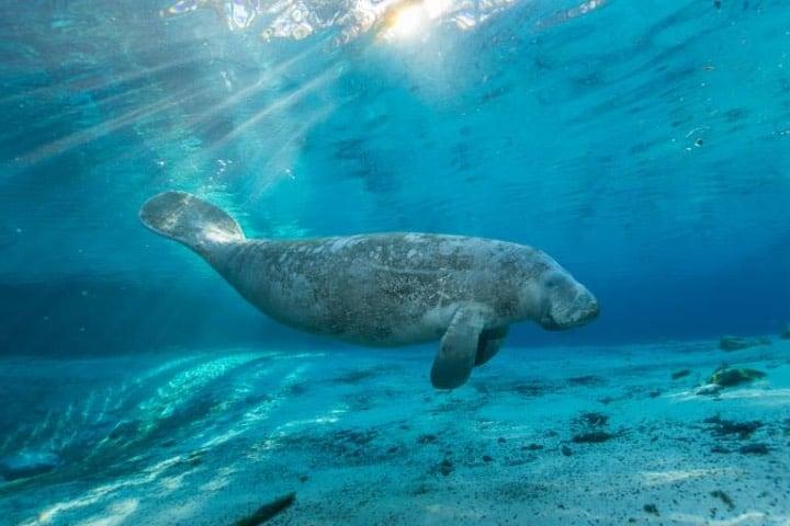 Manatí Foto Carlton Ward Jr. | Visit Florida