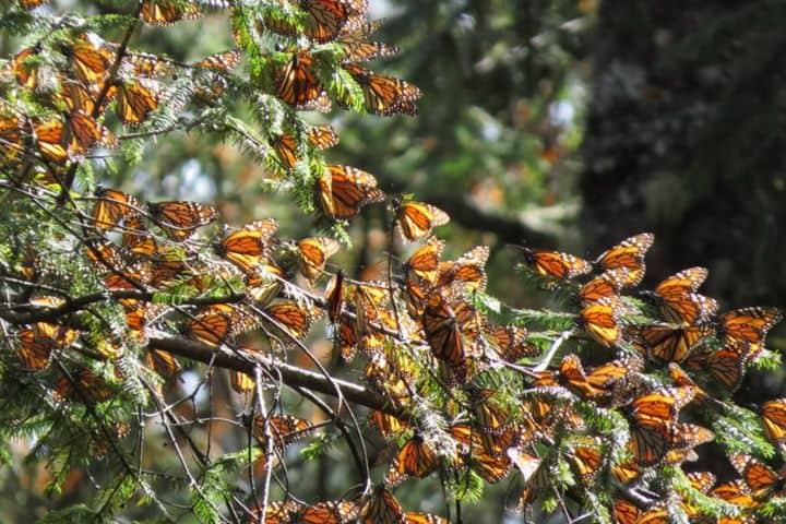 Santuario Mariposas Monarca, Michoacán. Foto Amethist.