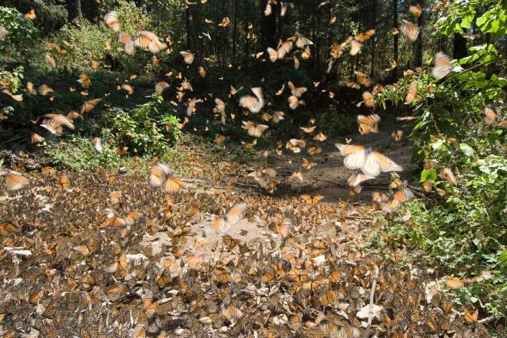 Santuario de mariposas Foto Archivo
