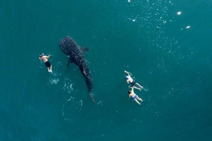 Tiburón ballena. Baja California Sur.