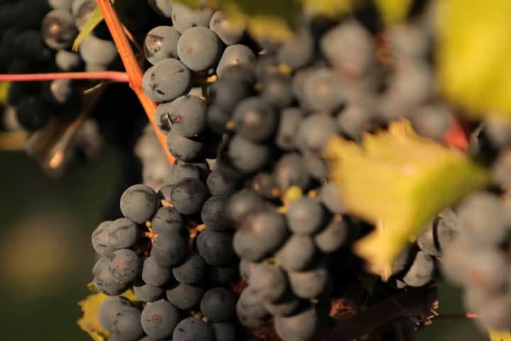 Uvas con que se realiza el Malbec Argentino Foto Archivo