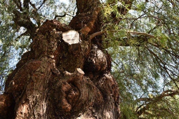 Árbol de Aculco Foto EDS Noticias