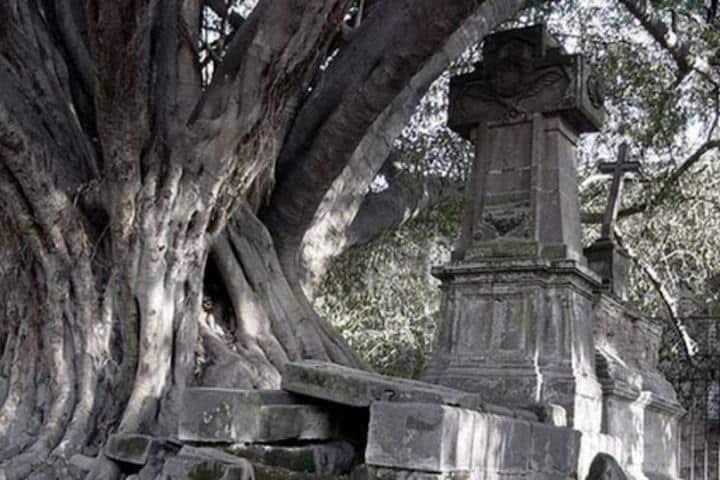 Se dice que en el árbol del vampiro en Guadalajara la leyenda cobrará vida Foto: Archivo
