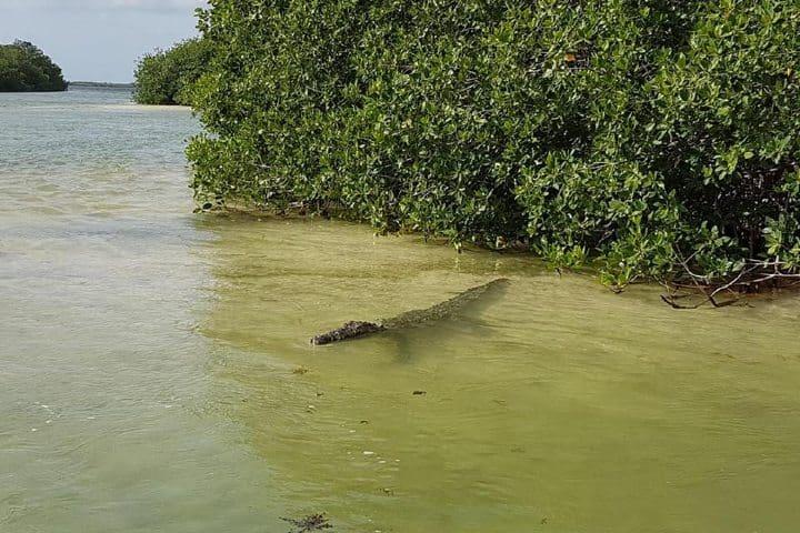 Cocodrilo en Manglares Foto: Riviera Maya-Holidays