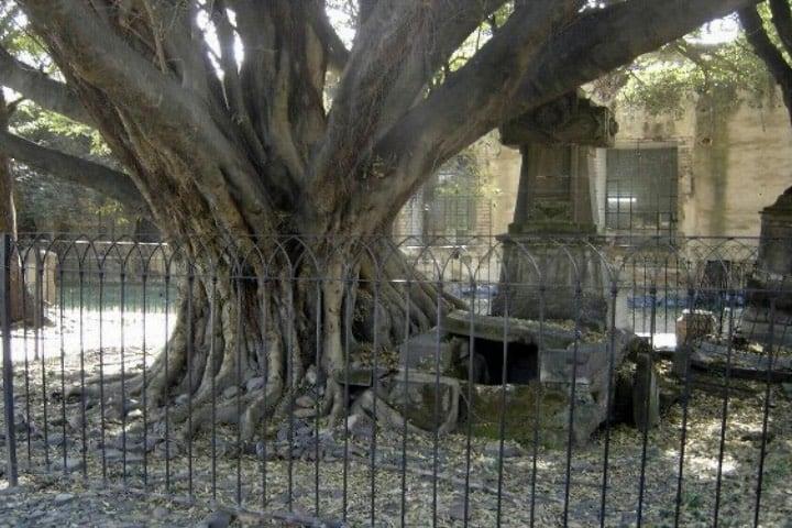 El árbol del vampiro en Guadalajara Foto Archivo
