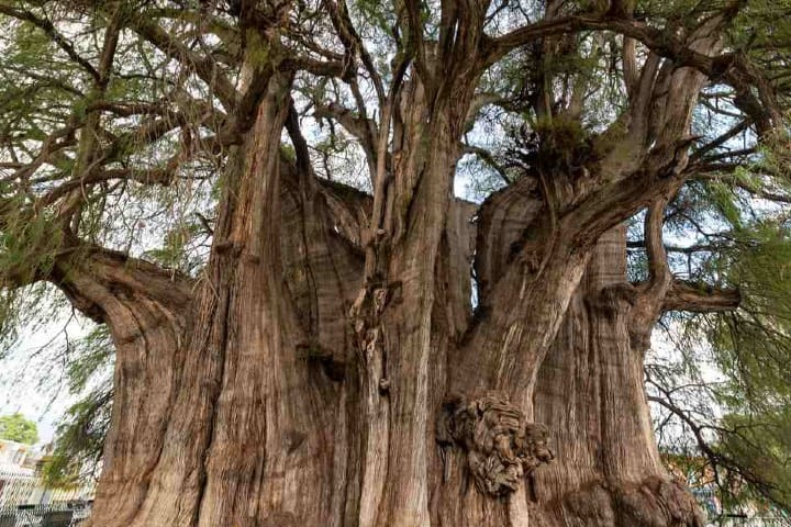 Este árbol es muy famoso en el mundo Foto City Express