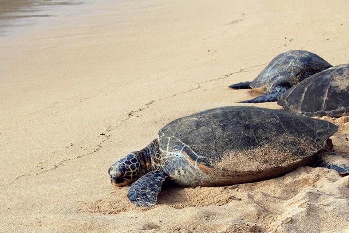 Llegada de la tortuga a playas de Cozumel Foto Archivo