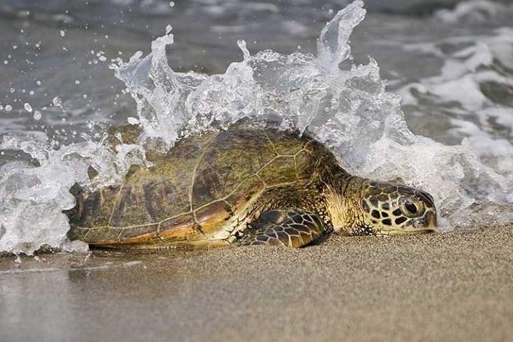 Se adelanta la temporada de Tortuga Marina en Cozumel Foto Archivo