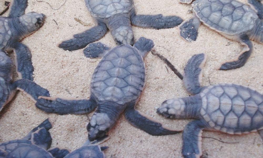 Temporada de la Tortuga Marina en Cozumel Foto Archivo
