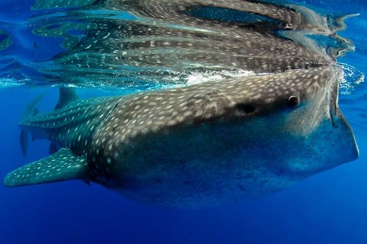 Avistamiento de tiburón ballena en Puerto Morelos Foto Alfonso Exposito