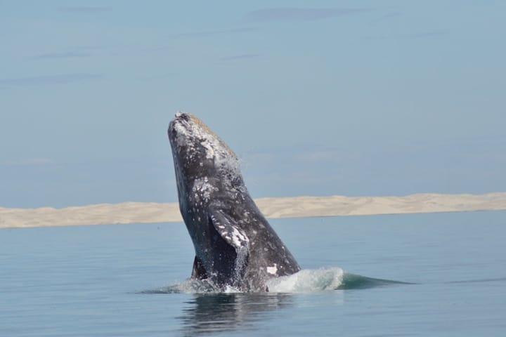 Ballena gris en la Reserva de la Biosfera del Vizcaíno Foto: SEMARNAT