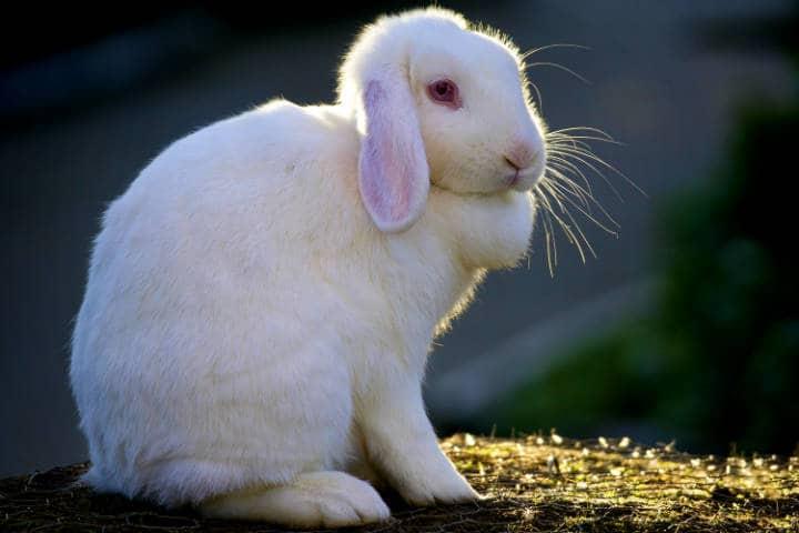 Conejo, un animal especial  Foto: Hehaden