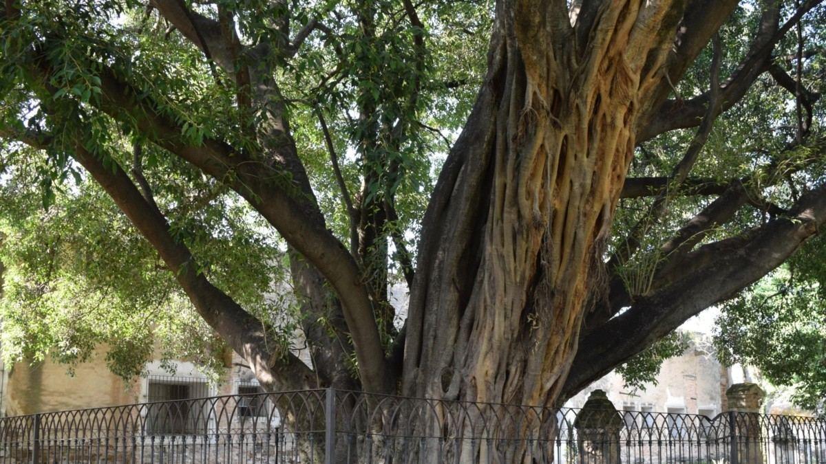 El árbol del vampiro . Foto por Carolina Solis