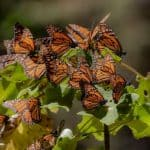 Mariposa Monarca Foto: Rafael Saldaña