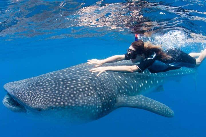 Nada con tiburones ballena en Puerto Morelos Foto: Archivo