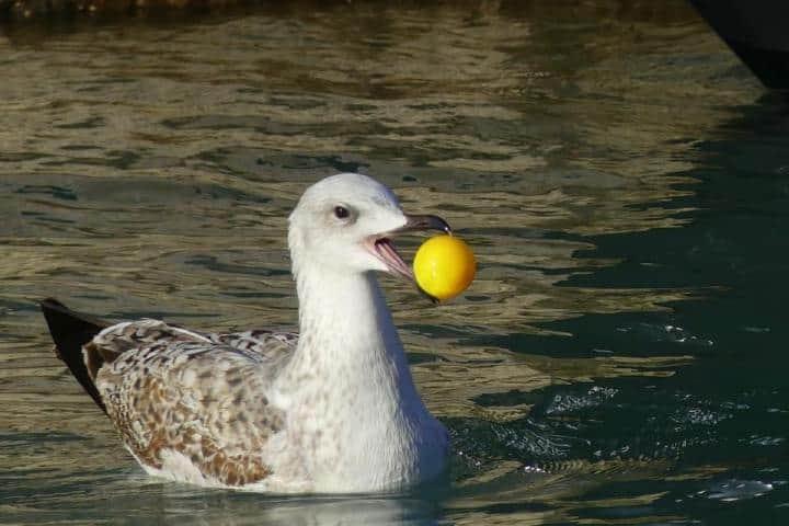 Pato en agua de Venecia sin góndolas Foto: Marco Contessa