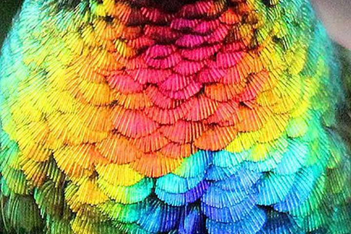 Plumas del colibrí Foto: Recreo Viral Archivo