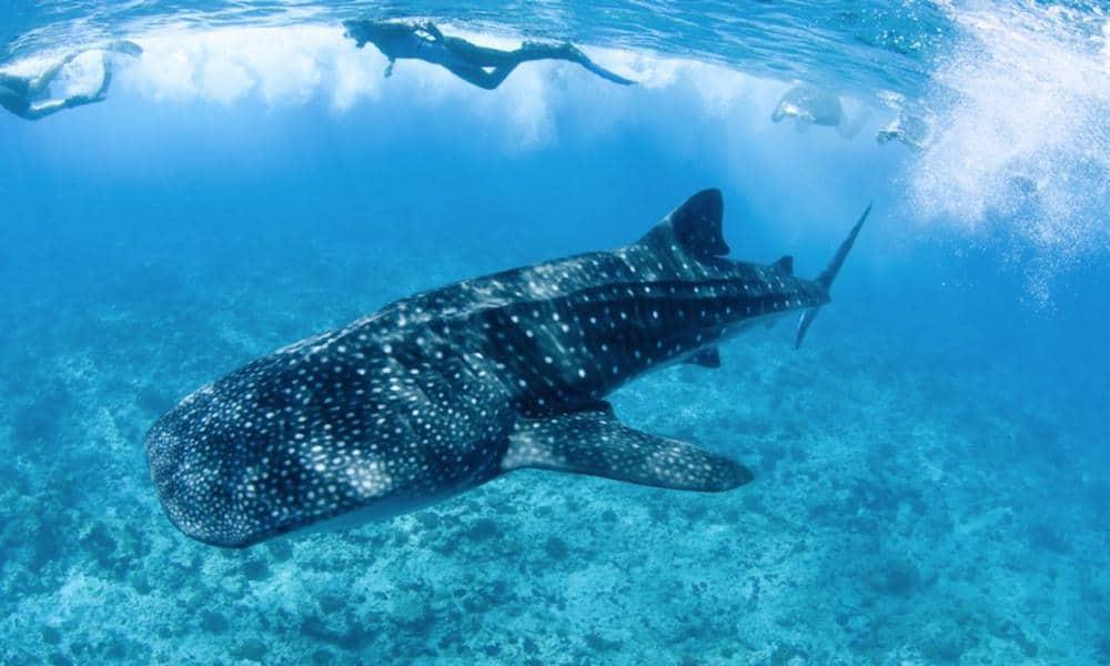 Tiburón ballena Foto: Aquaworld