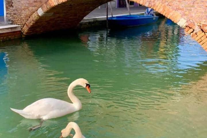 Cisnes en canal de Venecia Foto: Marco Contessa