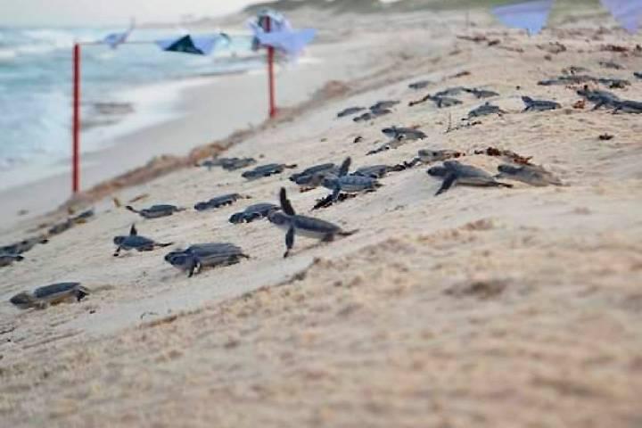 Temporada de la tortuga marina Foto: Entorno Turístico