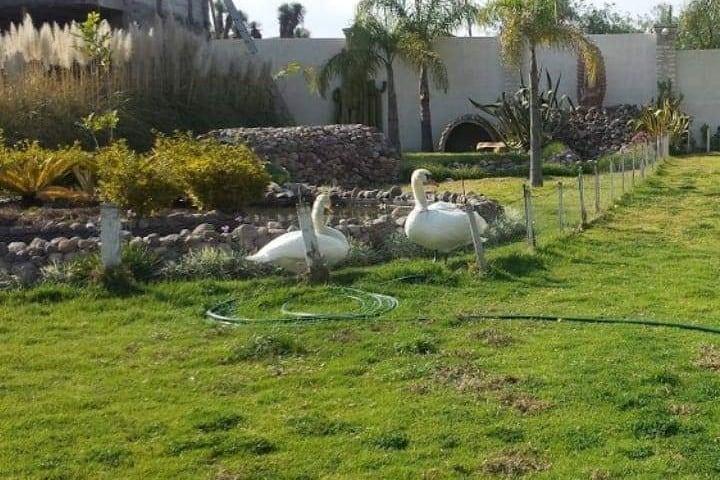 Cisnes del hotel. Foto: Archivo