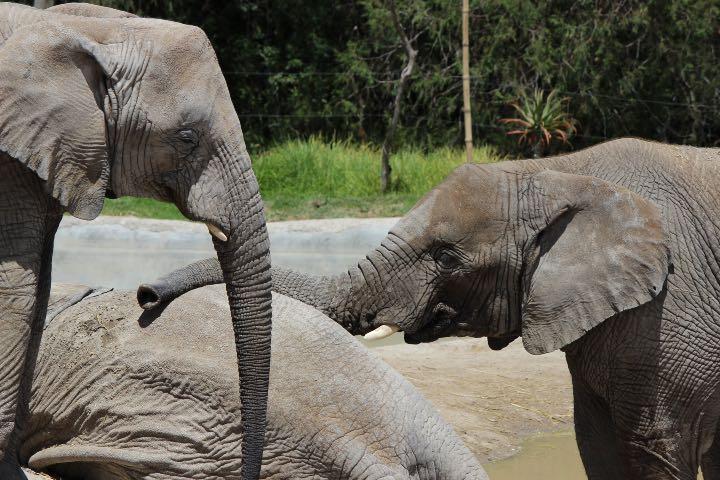 Elefantes asiáticos Foto rubenz32
