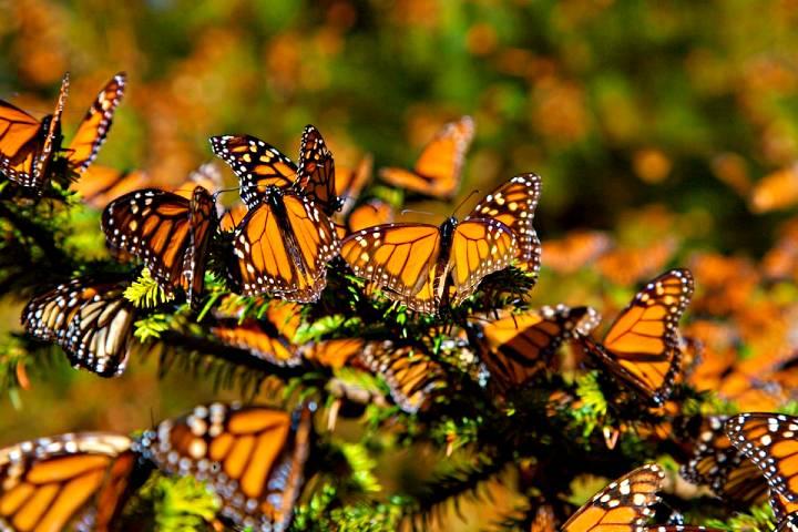 Mariposa Monarca. Foto:  La Union de Morelos