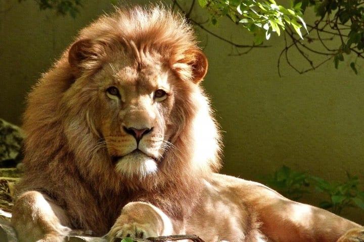 Una sección es exclusiva para leones Foto Africam Safari | Safari