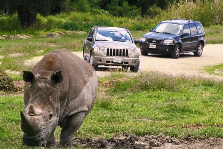 Vive una experiencia cercana a los rinocerontes en Africam Safari Foto: Travel 8