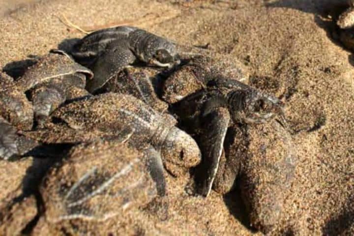Desove de tortugas en el Parque Nacional Lagunas de Chacahua. Foto: Ma. Mónica Lara