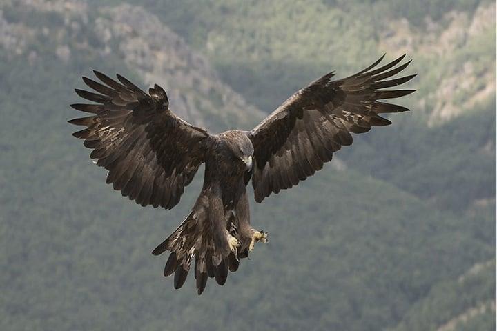 El Águila Real representa un peligro para la migración del caribú Foto: Javier Fernández