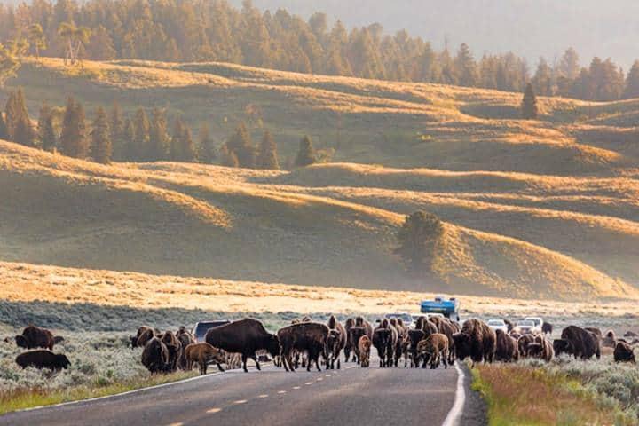 Bisontes dando un paseo en la carretera rumbo a Yellowstone. Foto: Parque nacional de Yellowstone.