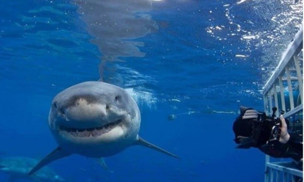 Buceo en Baja California con el Tiburón Blanco. Foto: Archivo