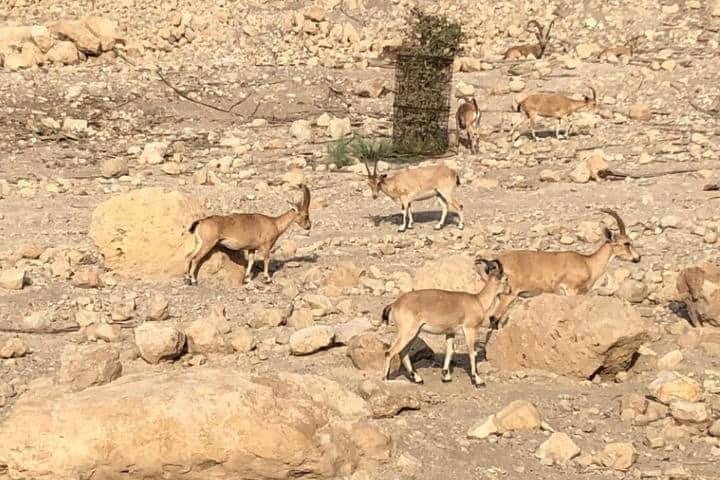 Cabras dentro de Ein Gedi. Foto: peachkoblerpie