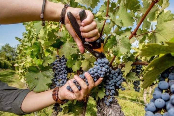 Cosecha de uvas de mano de los empleados. Foto: El Mercurio.