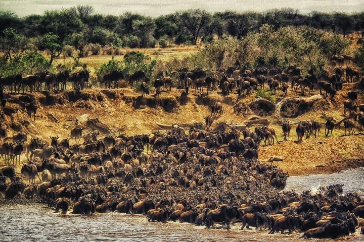 La manada cruzando el río Mara Foto: rohan reddy | unsplash