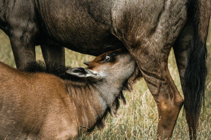 Descanso para comer durante la migración de ñus Foto: frida bredesen | unsplash