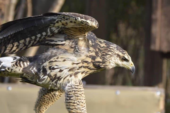 El águila es una especie que se preserva aquí Foto: Reino Animal | Facebook