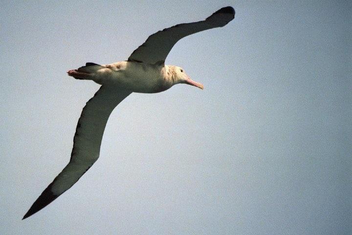 El ver a este ejemplar surcar los cielos es un deleite Foto: reurinkjan